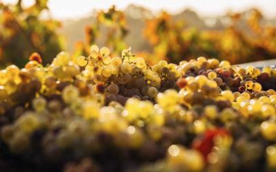 Nos Vins Blancs Liquoreux